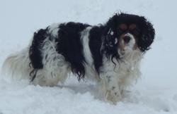 Diabolo, chien Cavalier King Charles Spaniel