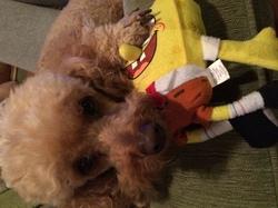 Diabolo, chien Caniche