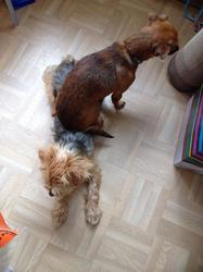 Diabolo, chien Pinscher
