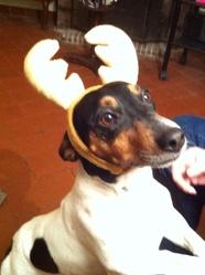 Diabolo, chien Jack Russell Terrier