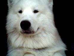 Diabolo, chien Samoyède