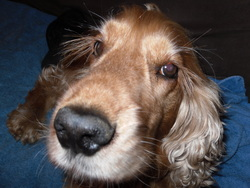 Diabolo, chien Cocker anglais
