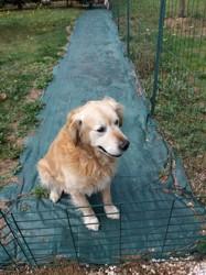 Diabolo, chien Golden Retriever