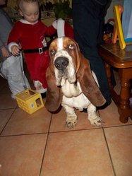 Diabolo, chien Basset Hound