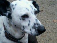 Diabolo, chien Dalmatien
