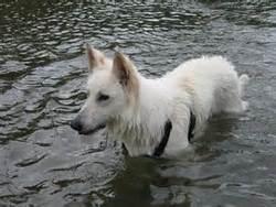 Diabolo, chien Berger blanc suisse