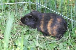 Diabolo, rongeur Cochon d'Inde
