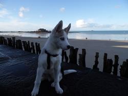 Diego, chien Husky sibérien