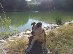 Diam'S, chien American Staffordshire Terrier