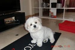 Diaman, chien Coton de Tuléar
