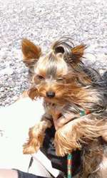 Diamant, chien Yorkshire Terrier