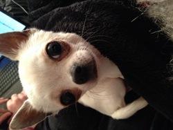 I'M A Diamond, chien Chihuahua