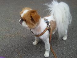 Diamant Du Temple D'adonis, chien Épagneul japonais