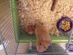 Diamant , rongeur Hamster