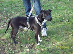 Diamond, chien American Staffordshire Terrier