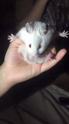Diamond, rongeur Hamster