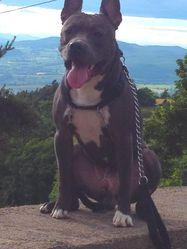 Diamond, chien American Staffordshire Terrier