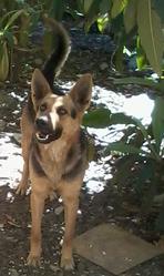 Dian, chien Berger allemand