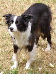 Diana, chien Border Collie