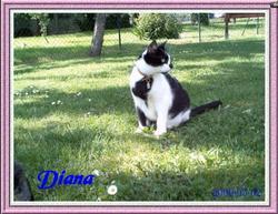 Diana, chat Européen