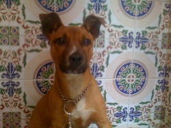 Diana, chien American Staffordshire Terrier