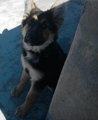 Diana, chien Berger allemand