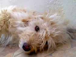 Diana, chien Caniche