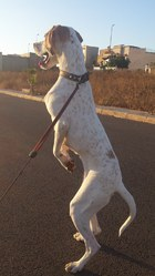 Diana, chien Pointer anglais