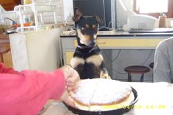 Diane, chien Beauceron