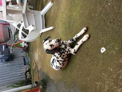 Diane, chien Dalmatien