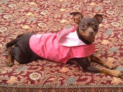 Diane, chien Pinscher