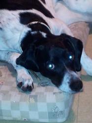 Diane, chien Pointer anglais