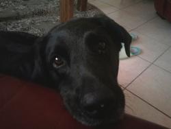 Diane, chien Labrador Retriever