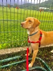 Diane, chien Berger allemand