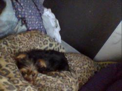 Dianette, chien Yorkshire Terrier