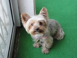 Diaze, chien Yorkshire Terrier