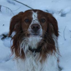 Dick, chien Épagneul breton