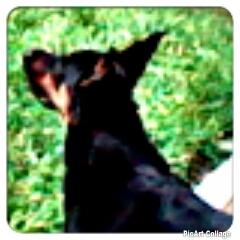 Dick, chien Rottweiler