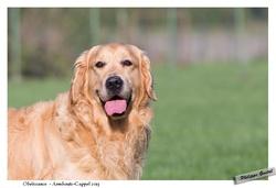 Dick, chien Golden Retriever