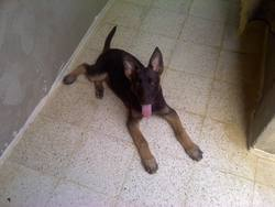 Dick, chien Berger allemand