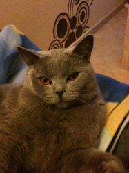 Dickens, chat Chartreux