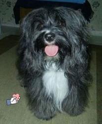 Dickson, chien Terrier tibétain
