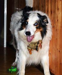 Dickson, chien Border Collie