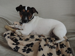 Dicky, chien Jack Russell Terrier