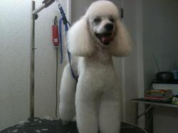Dicky, chien Caniche