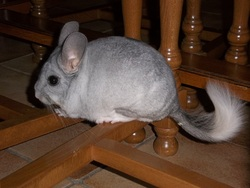 Diddl, rongeur Chinchilla