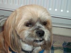 Didi, chien Lhassa Apso