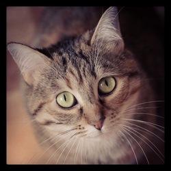 Didie, chat Européen