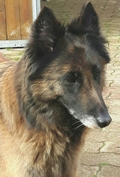 Dido, chien Berger belge