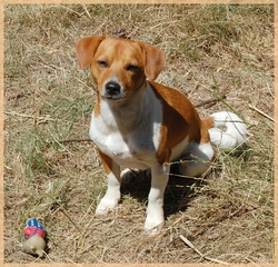 Didou, chien Jack Russell Terrier